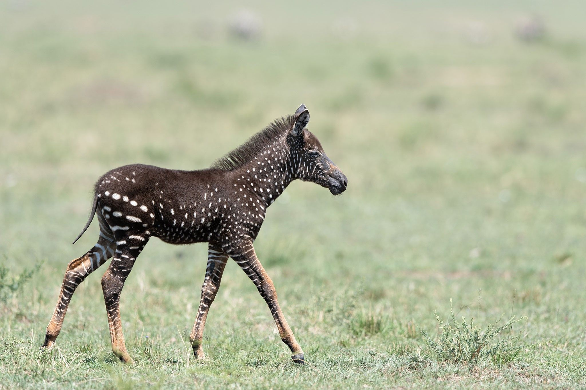 Rare polka-dotted zebra foal photographed in Kenya | National Geographic