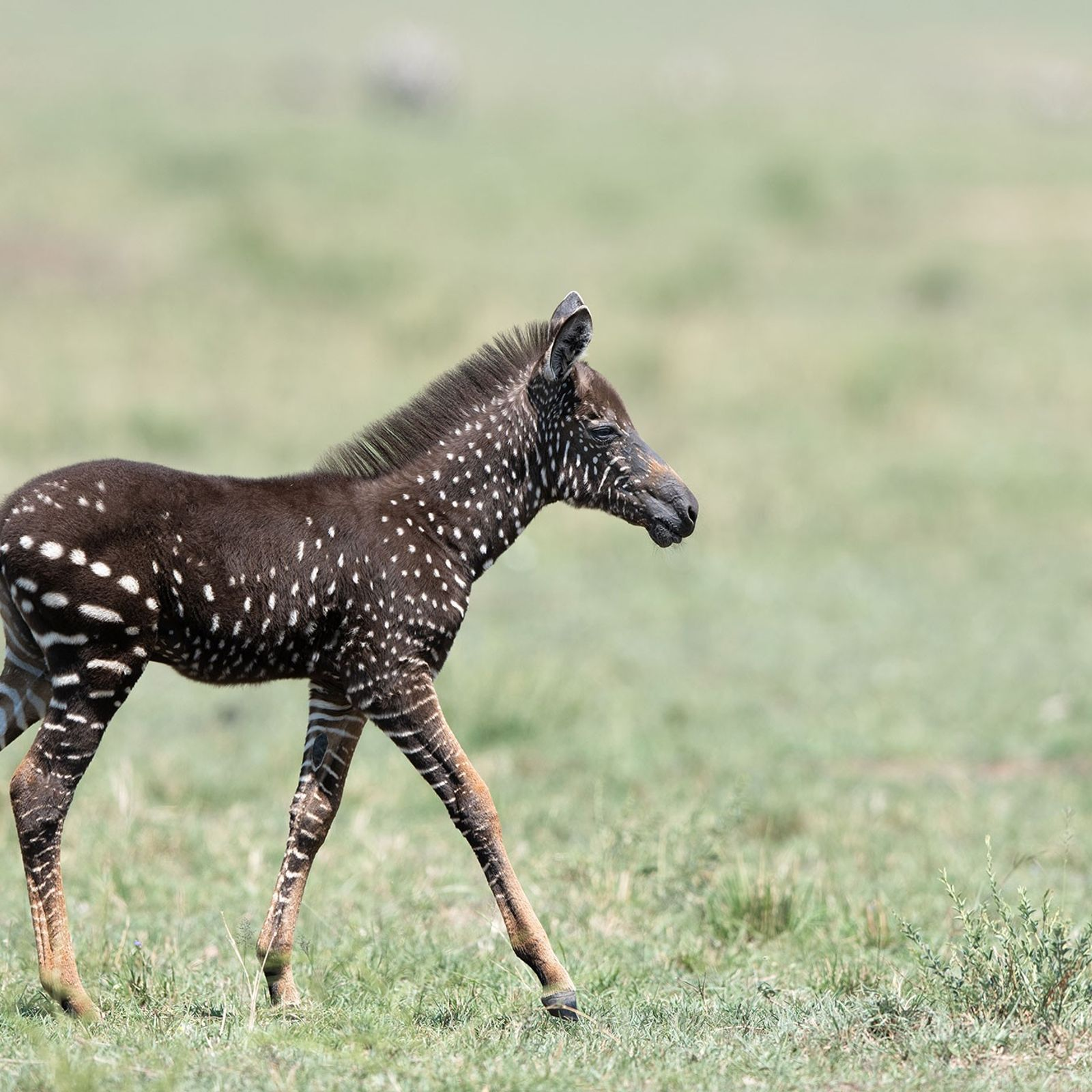 Tira, the spotted zebra foal, may be more suspectible to biting flies without the zebra's trademark ...