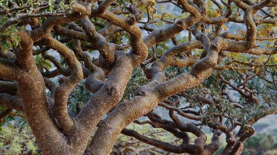 Frankincense trees, found throughout northern Africa and in India, Oman, and Yemen, are increasingly under pressure, ...