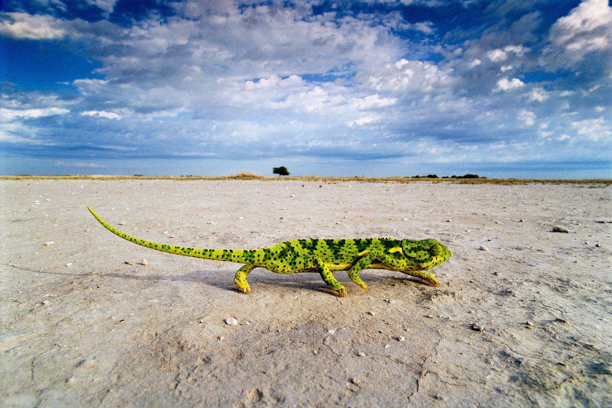 A flap-necked chameleon crosses a salt pan in Makgadikgadi Pans, Botswana.