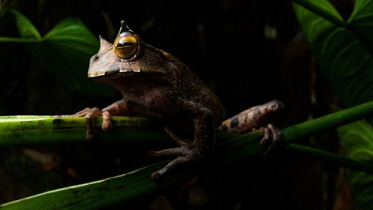 The horned marsupial frog ('Gastrotheca cornuta') is a nocturnal amphibian that lives high in the canopy ...