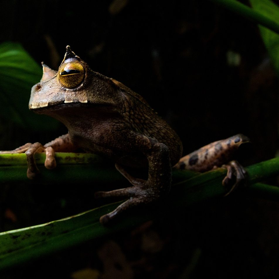 'Extintinct', bizarre horned frog reappears in Ecuador