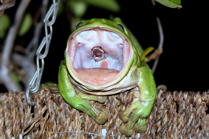 The image of the carnivorous frog swalloing the snake humorously titled, One Last Scream into The ...