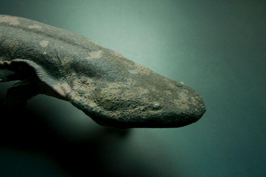 World's largest amphibian identified as a unique species