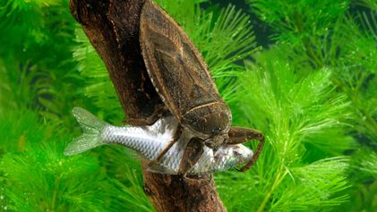 Giant water bugs eat turtles, ducklings, and even snakes