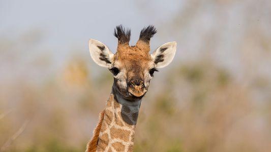 Baby Giraffes Get Their Spots From Mum
