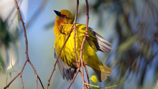 The Cape weaver bird, found in southern Africa, isn't considered endangered. Yet a new study predicts ...