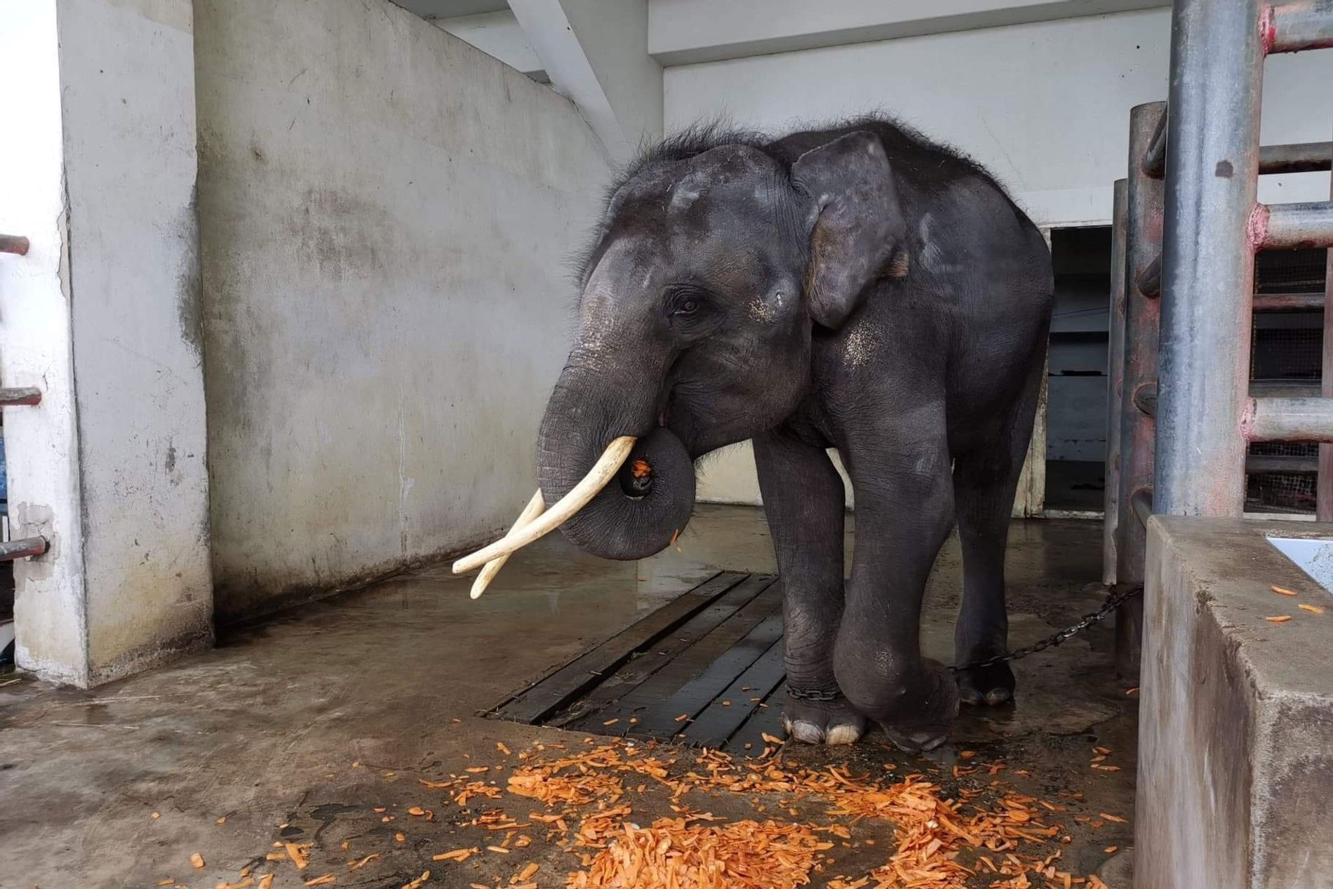 Gluay Hom, a juvenile male elephant, stands in his stall at Samutprakarn Crocodile Farm and Zoo ...