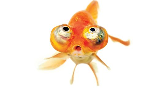 There are many breeds of goldfish (Carassius auratus). This is a  celestial eye goldfish, which ...