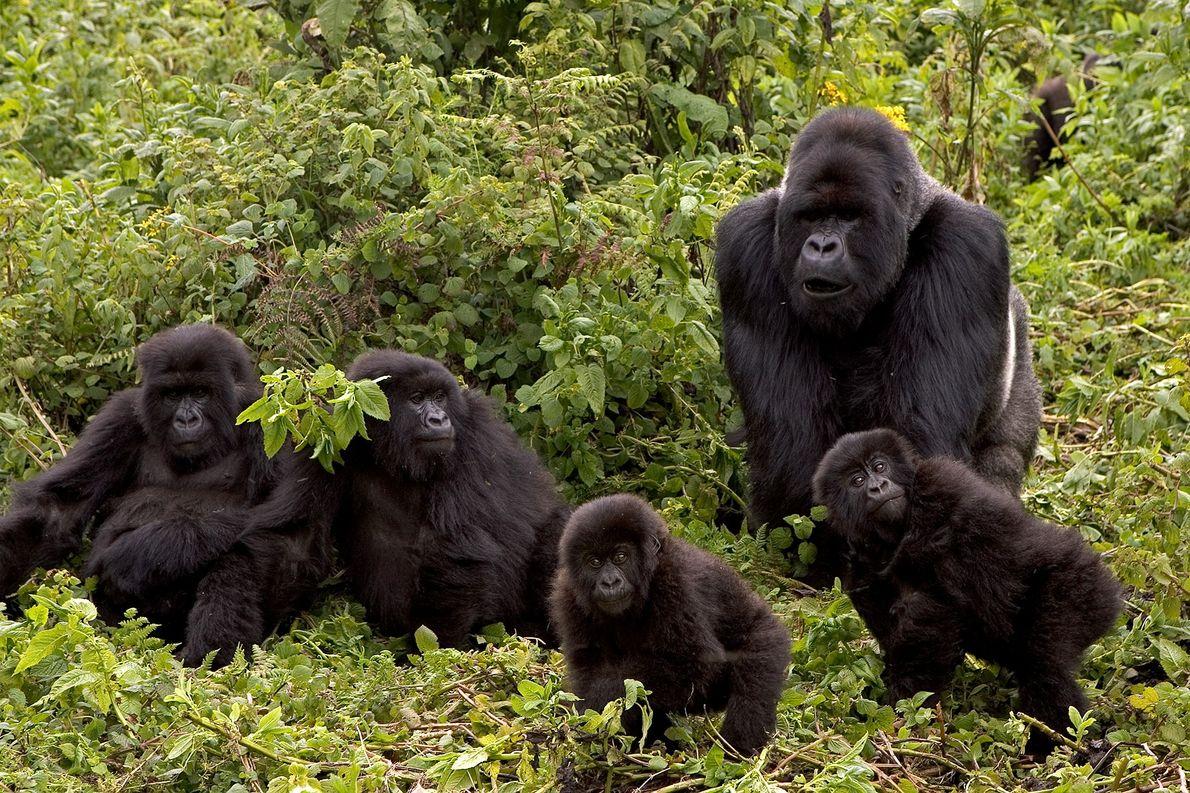 Friend or foe, gorillas groom their dead