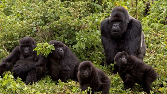 The Susa group of mountain gorillas in Rwanda's Volcanoes National Park, was the subject of famous ...