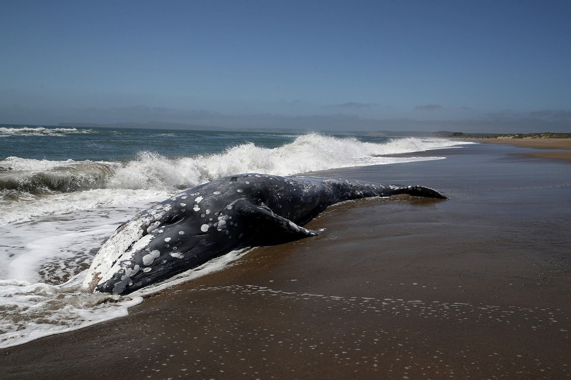 A grey whale stranded in Point Reyes Station, California. New research suggests solar storms could temporarily ...