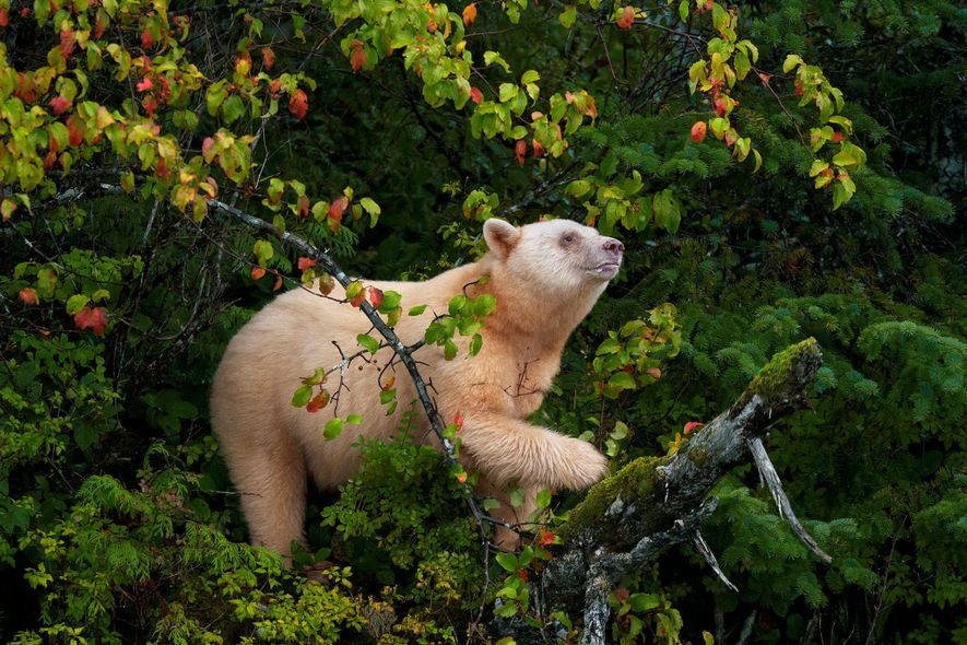 A Kermode bear, also known as a spirit bear, climbs a crab apple tree to grab ...