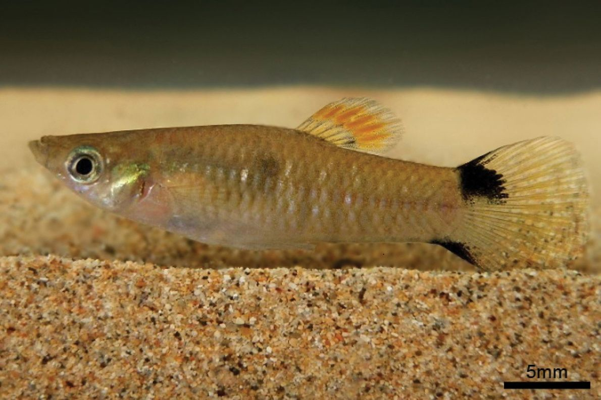 How a Tiny Guppy Mysteriously Travelled Hundreds of Miles