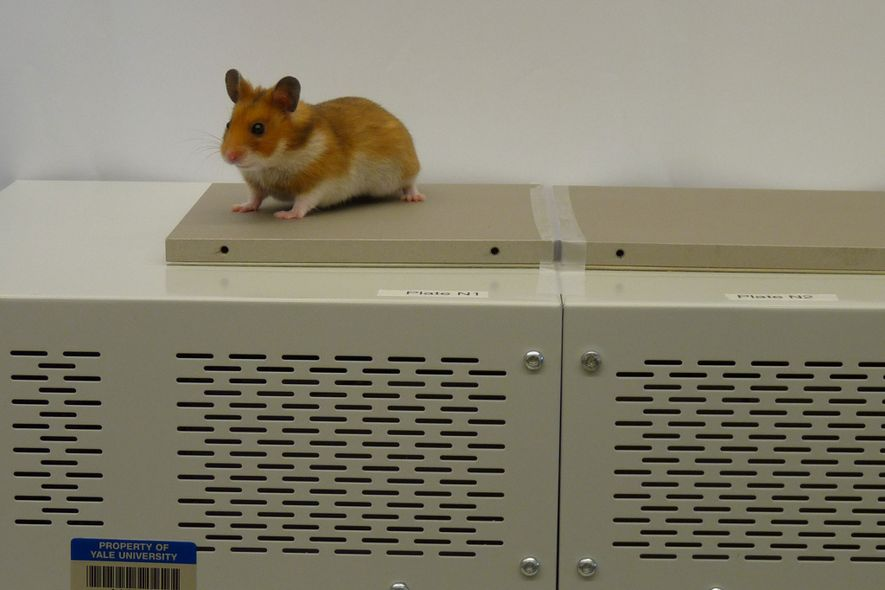 A Syrian, or teddy bear, hamster is seen during an experiment using platforms of varying temperatures.