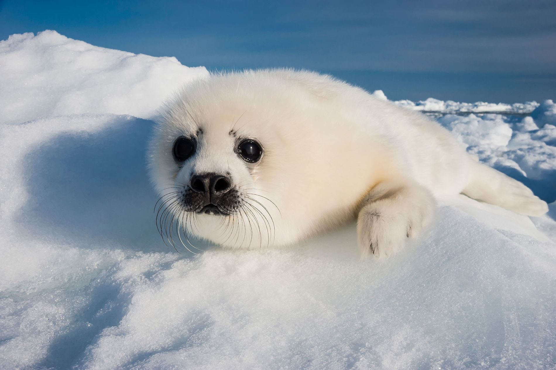A harp seal pup rests on a greatly diminished ice pack in the Gulf of Saint ...