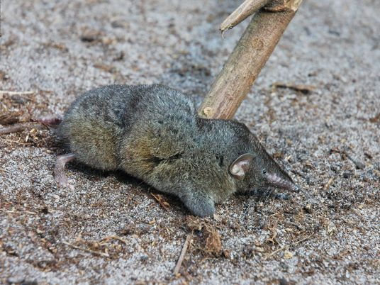 Hero shrews have the most extreme spine in nature—and we don't know why