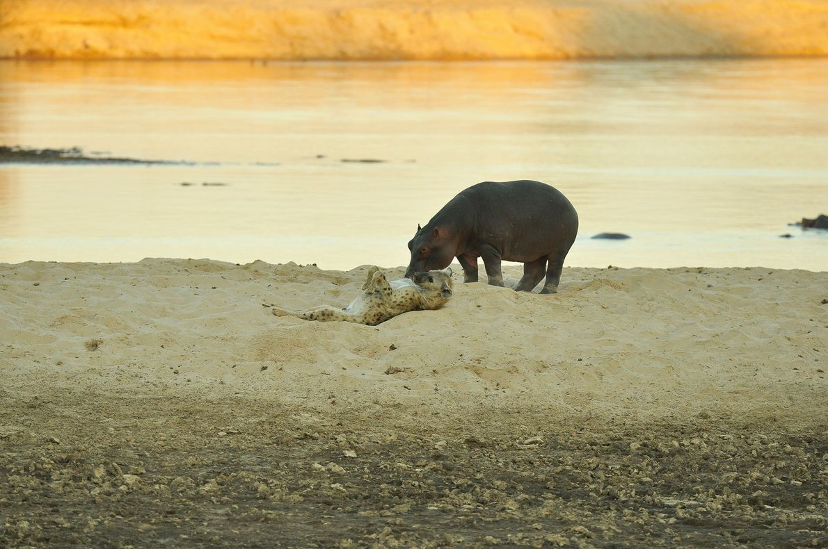 Hippo and hyena touch noses in rare encounter