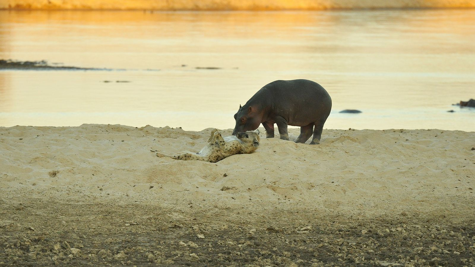 A spotted hyena rolls onto his back next to a hippo on the banks of the ...