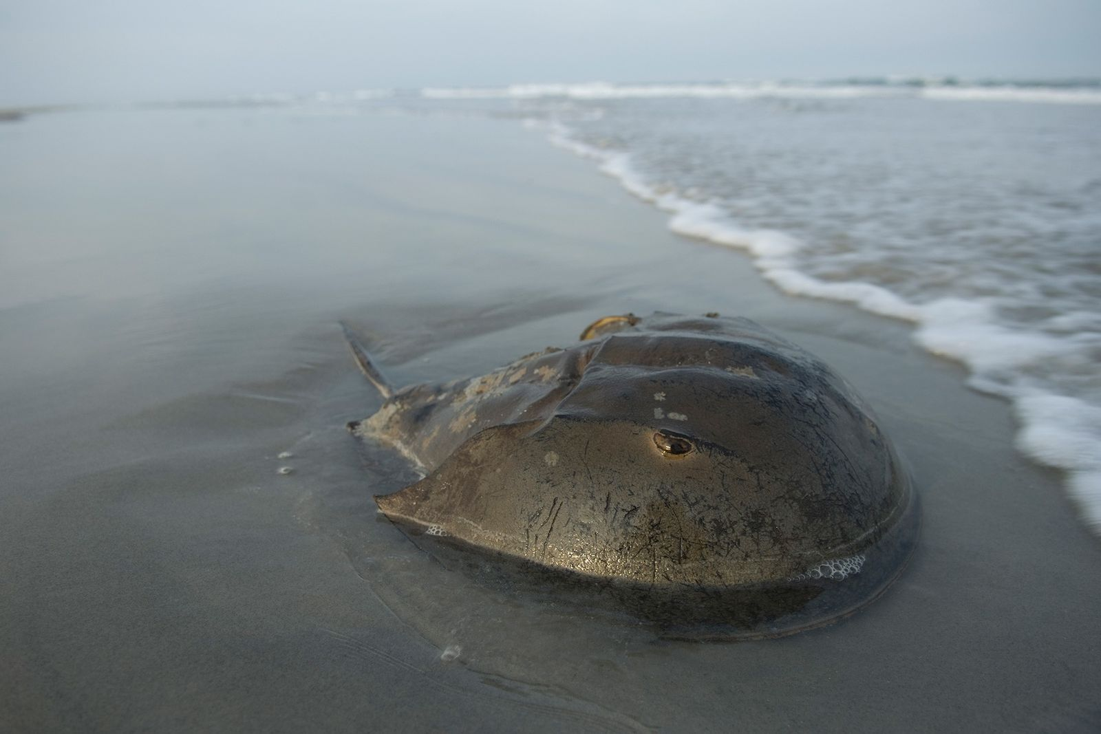 An Atlantic horseshoe crab lies on the beach in Stone Harbor, New Jersey, not far from ...