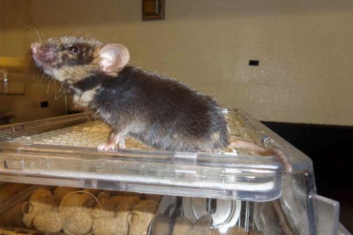 This one-year-old chimera sprang from a mouse injected with rat stem cells.