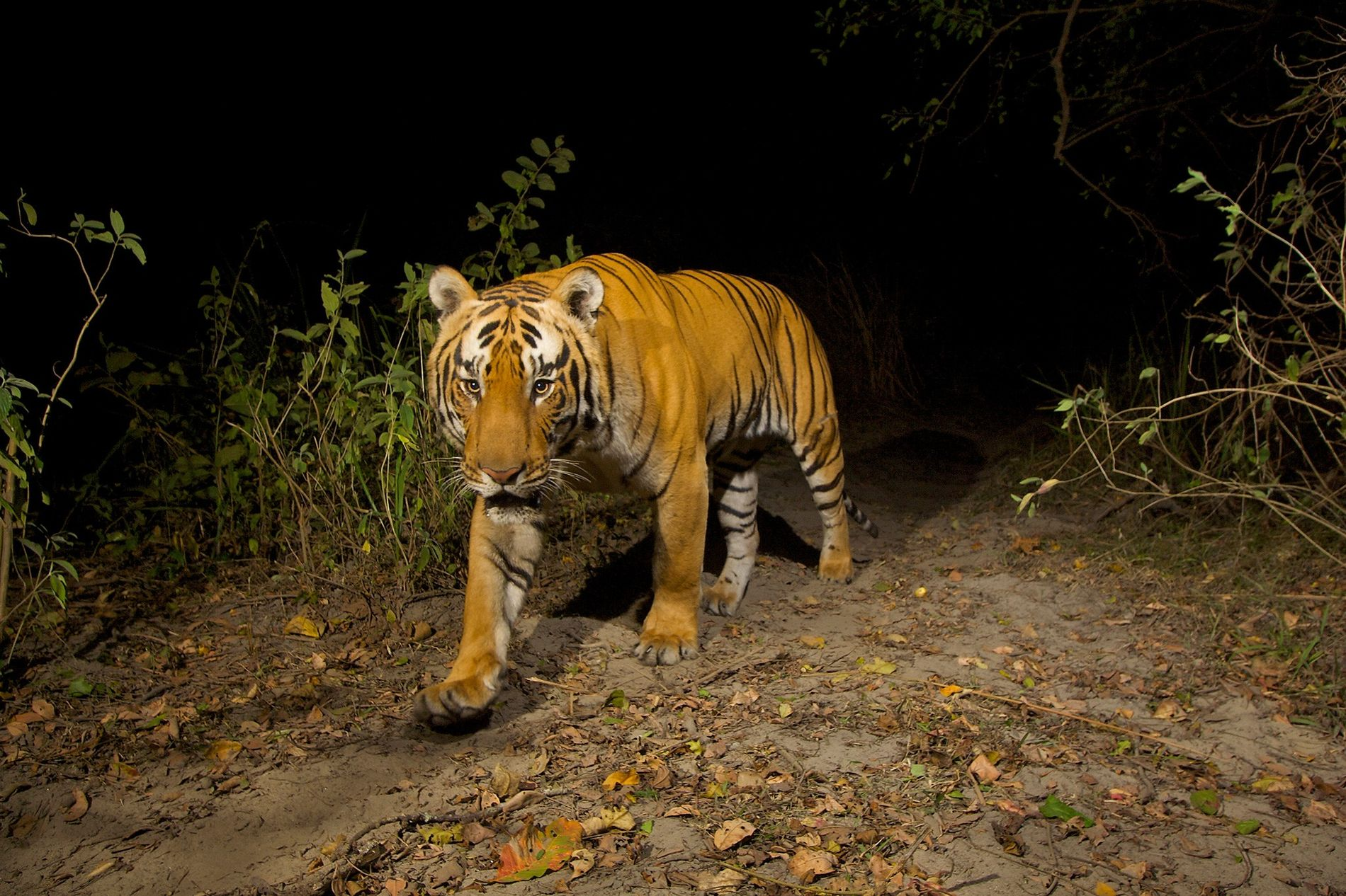 Animals like this Bengal tiger ('Panthera tigris tigris'), photographed in northeastern India's Kaziranga National Park, rely on scent to help interpret the world around them—sniffing out a challenge from a rival edging closer to their territory, or smelling weakness in a sickly prey animal.