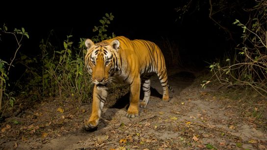 Animals like this Bengal tiger ('Panthera tigris tigris'), photographed in northeastern India's Kaziranga National Park, rely ...