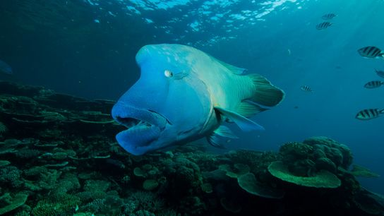 Weighing up to 400 pounds with distinctive markings behind its eyes, the humphead wrasse is an ...