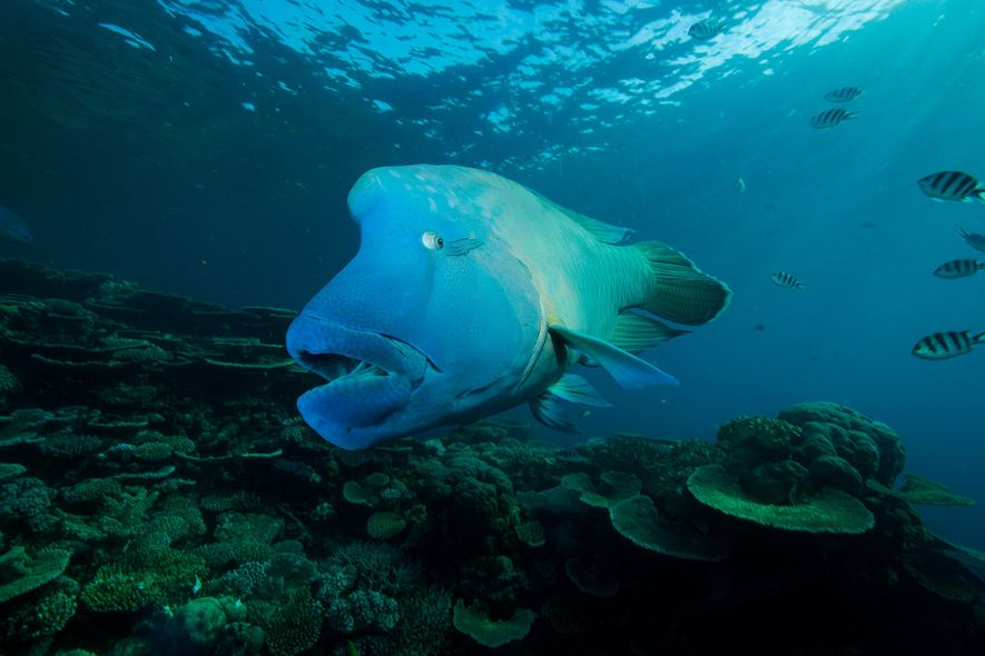 This fish is 'king of the reef.' But high-end diners may change that.