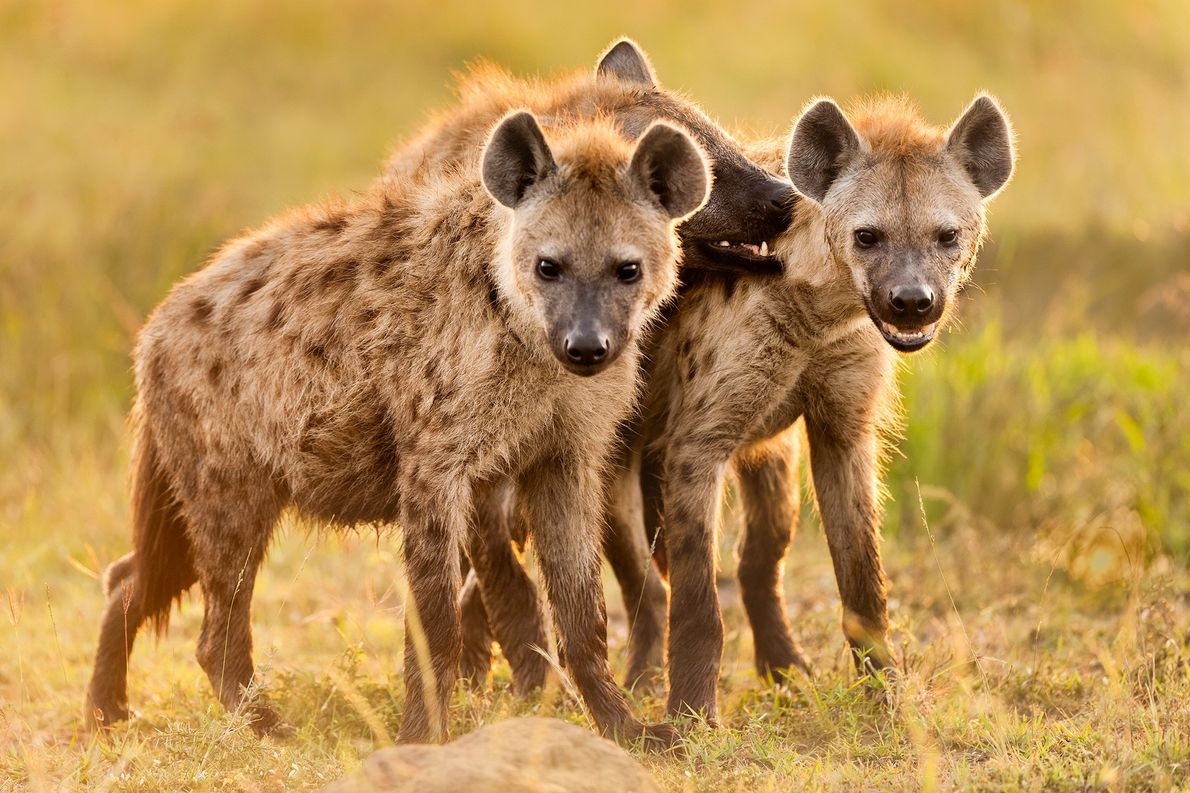 Hyenas have a bad reputation—but they're Africa's most successful predator