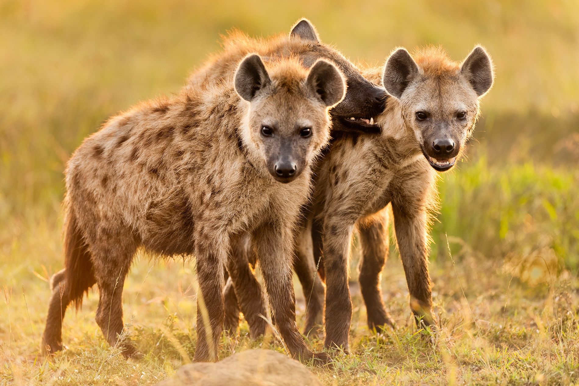 Spotted hyenas socialise at their den in Kenya's Masai Mara National Reserve. Parents spend more time playing with their cubs than do other carnivores.
