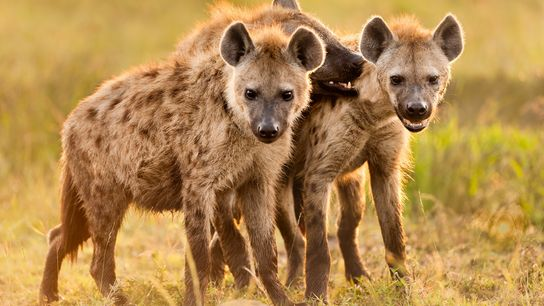 Spotted hyenas socialise at their den in Kenya's Masai Mara National Reserve. Parents spend more time ...