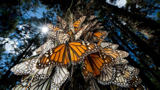Monarch butterflies winter in the Chincua Mountains in Mexico, and like many other insects, they have ...