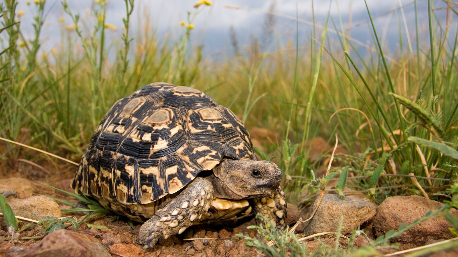 Leopard tortoises were some of the nearly 10,000 live turtles and tortoises seized in Operation Thunderball.