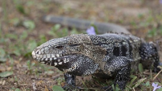 An Argentine tegu (Salvator merianae) in its native Brazil. Tegus have become popular pets in the ...