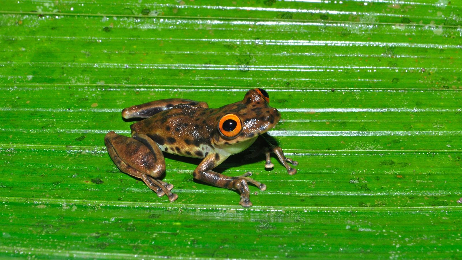 Researchers discovered the jaguar-snouted tree frog on a former motorway in Brazil.