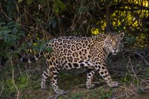 A jaguar prowls a riverbank in the Pantanal, in Brazil's Mato Grosso del Sur state. South ...