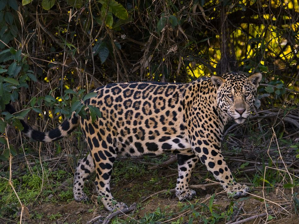 Jaguar trafficking linked to Chinese investment in South America