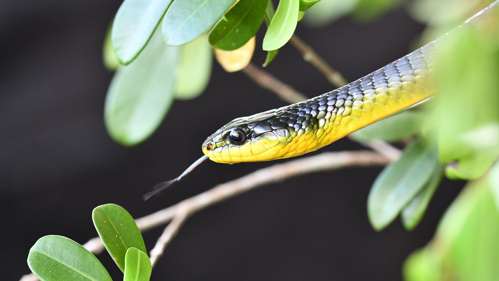 A common tree snake in the genus Dendrelaphis basks in the sun between research trials.