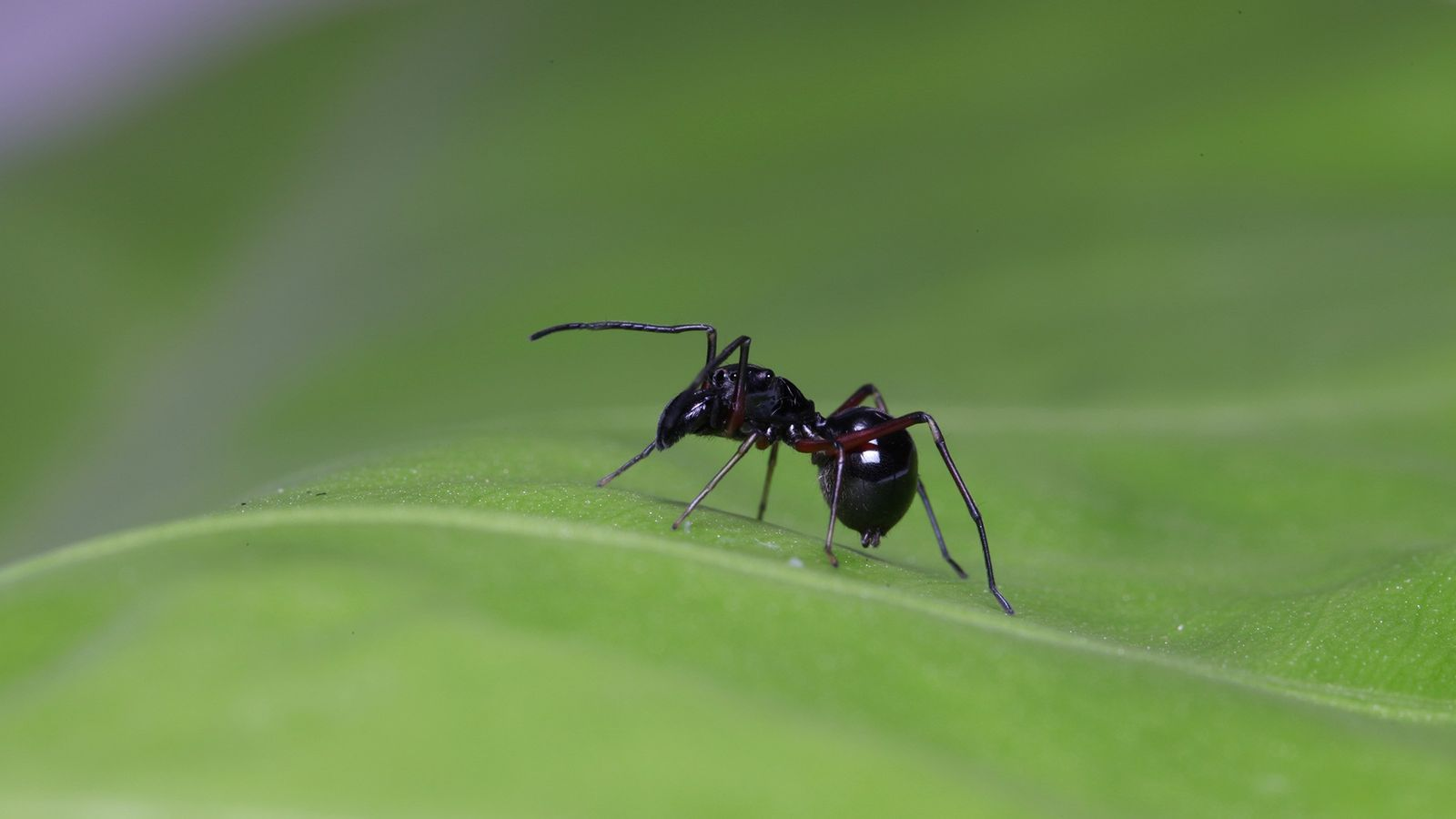 The mimicry is extremely convincing, but this is not an ant. It's an adult female ('Toxeus ...