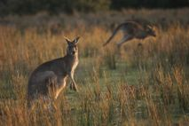 Some say Australia's kangaroo hunt is a sustainable use of a renewable resource and needed to ...