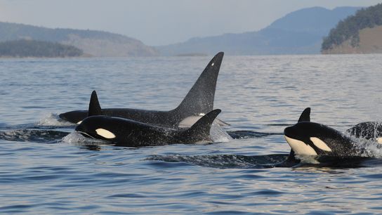A family of orcas surfaces off the Pacific Northwest. The large dolphins work together to hunt.