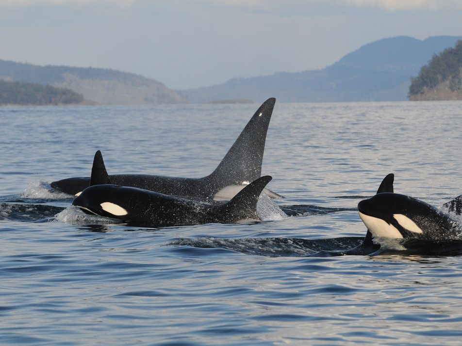 Why do orca grandmothers live so long? It's for their grandkids.