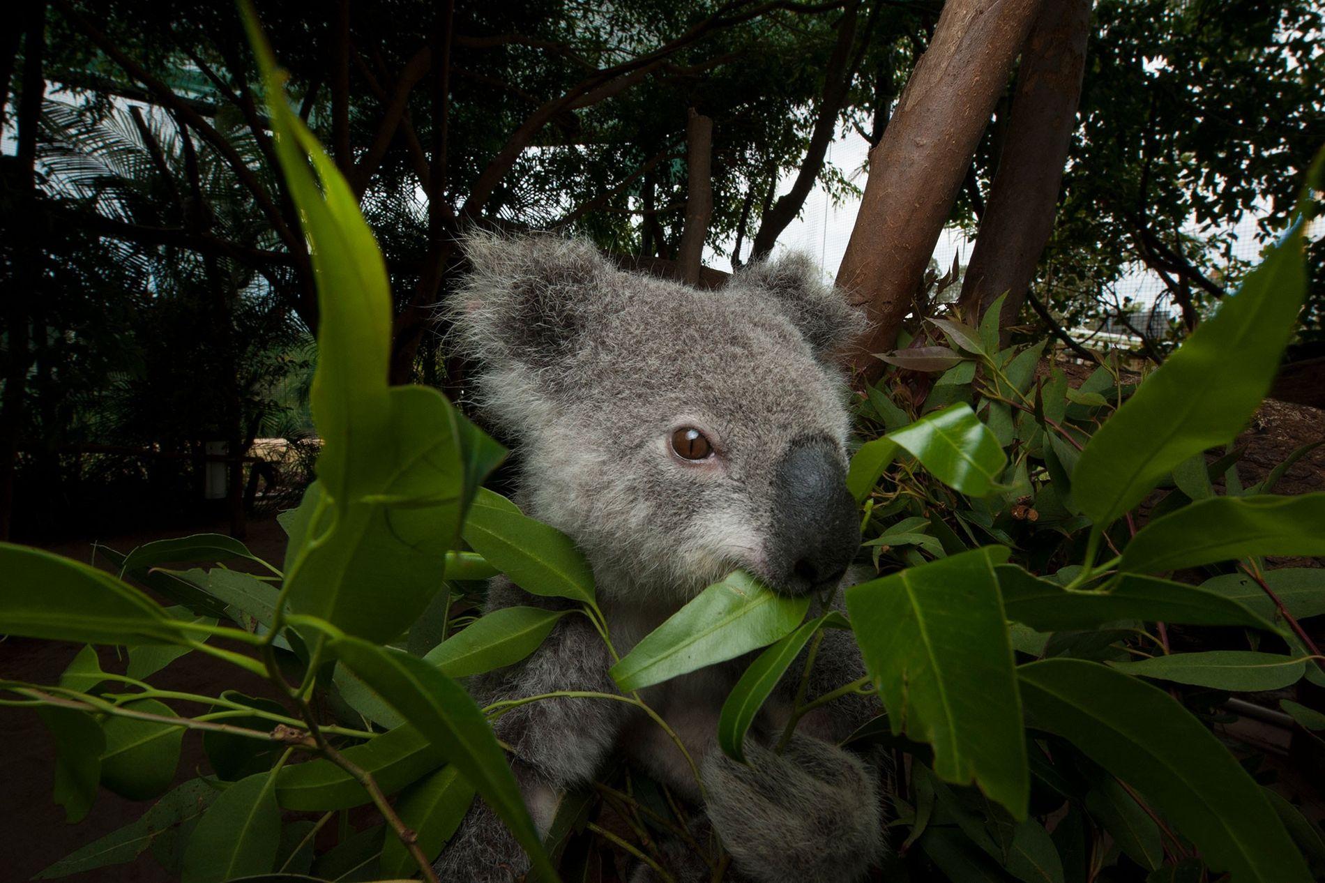 A federally threatened koala eats eucalyptus leaves at an animal hospital. Beerwah, Queensland, Australia.