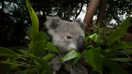Koalas Eat Toxic Leaves to Survive—Now Scientists Know How