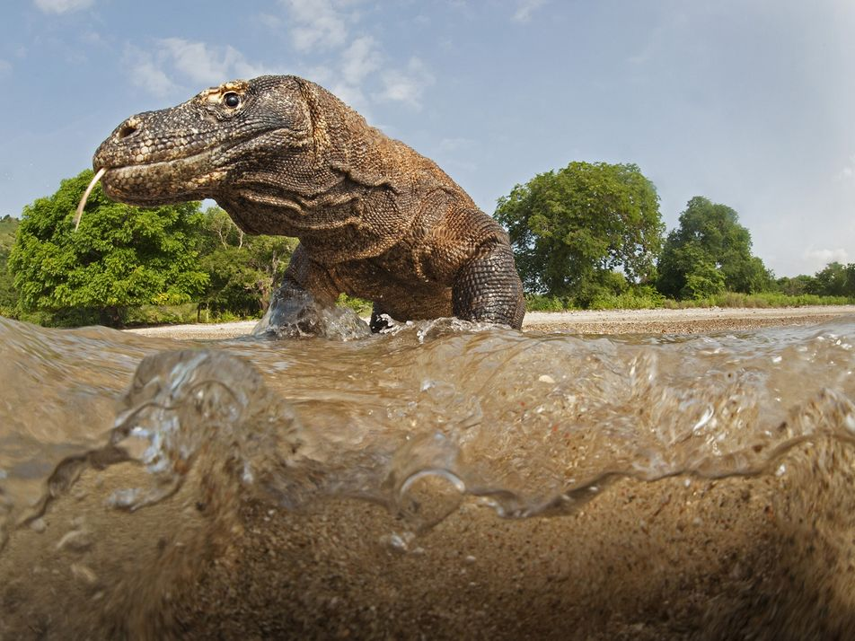 Why komodo dragons stay close to home