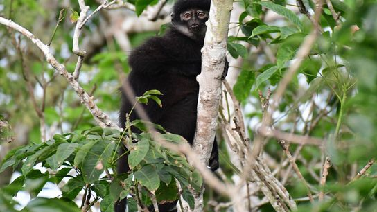 The newly described East Sumatran banded langur (Presbytis percura) qualifies as critically endangered—it's now one of ...