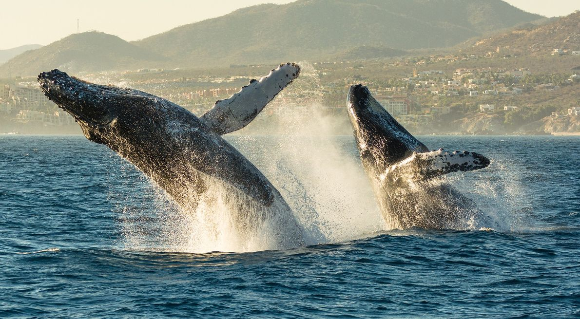 Humpback whales jump out of the water in Cabo San Lucas Bar, Mexico. This display is ...
