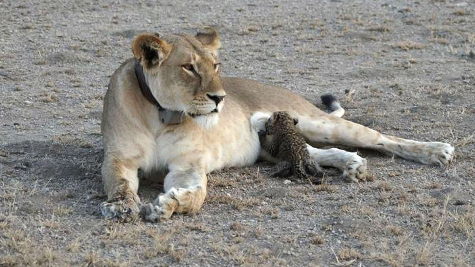 A weeks-old leopard cub suckles from a lion in Tanzania.