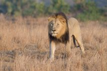 A male lion roams Phinda Private Game Reserve in South Africa. Authories are still unsure why ...